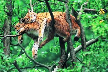 Bobcats in a tree picture.