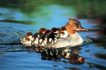 Baby ducks picture